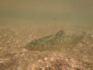 Brown trout resting on gravel bottom underwater